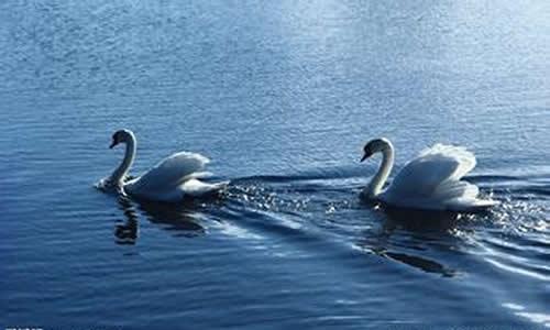 我家乡的天鹅湖