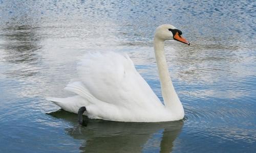 白天鹅变丑小鸭的作文