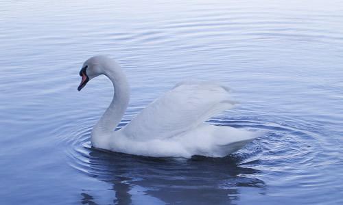 作文 话题作文 > 我的小天鹅的作文380字   因为我超喜欢小动物,所以