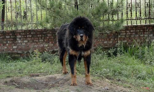 壁纸 动物 狗 狗狗 500_300