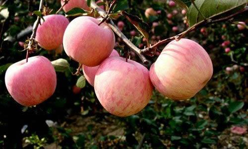 看,苹果树的旁边还种满了梨树和橘子树.