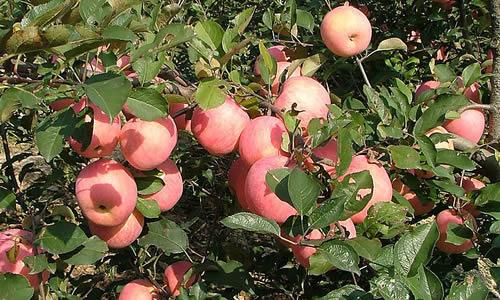 走进秋天的果园,满眼都是丰收的景色.闻到的都是果子香甜的气味.