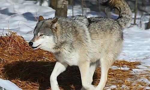 壁纸 动物 宽屏 狼 桌面 500_300