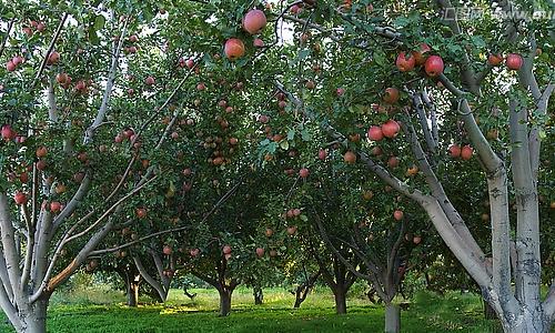 苹果树的四季作文600字