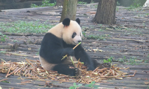 熊猫真可爱扩句