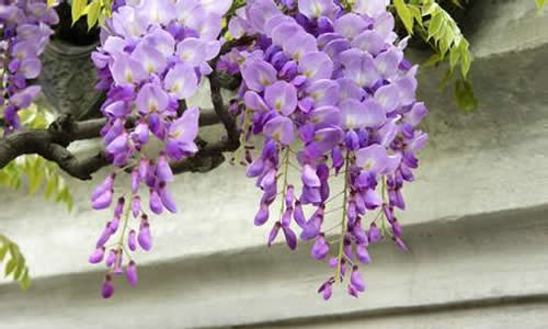今天,我给大家介绍一下紫藤.它的花瓣是渐变色的,有紫色.