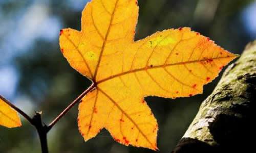秋天捡树叶的作文图片