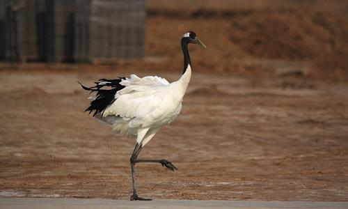 > 美丽的丹顶鹤作文四年级   有一次,爸爸妈妈带我去深圳野生动物园玩