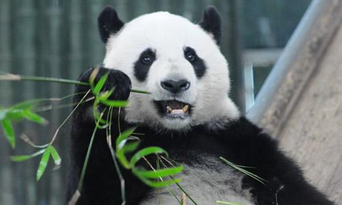可爱的大熊猫爱吃绿油油的竹子.         3.