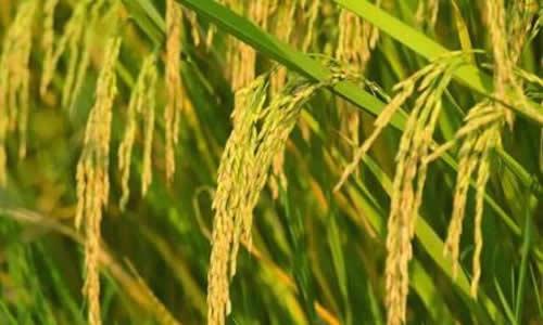 稻子熟了扩句